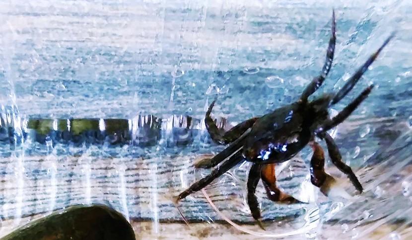 蟹のアイキャッチ